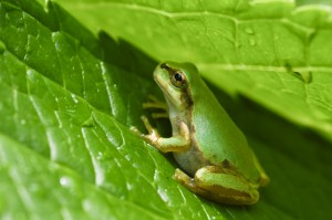 緑の葉とカエル